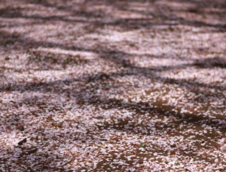 【ノベルゲーム】櫻の樹の下には